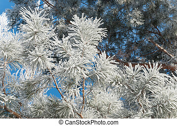 Pine needles covered hoarfrost