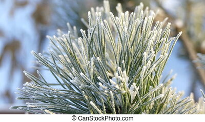 Pine needles covered snow - Frosty pine tree branch...