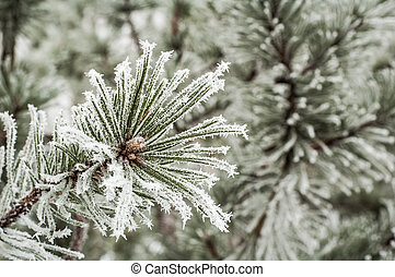 Pine needles covered with frost, close-up