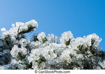 pine needles frozen in winter