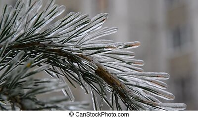 pine needles is icy after rain in winter - pine needles is...