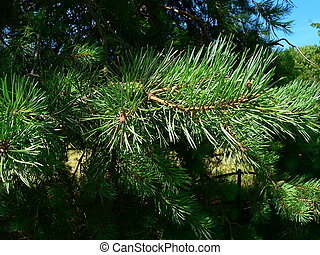 pine needles on a tree with a blue sky visible in the...