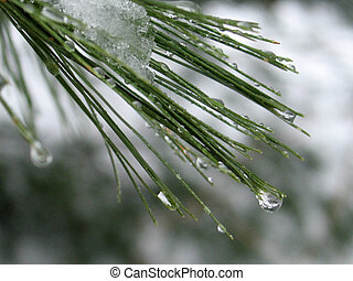 This is a extreme close-up of some melting snow water droplets on some pine needles after an overnight snow.