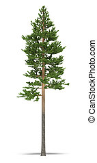 Pine on a white background. It's 3D image.