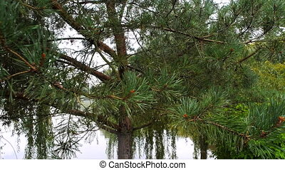 Pine on the background of the lake in the rain panorama