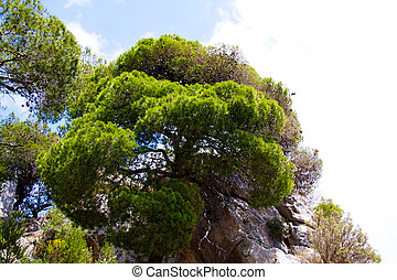 Pine on the mountain in Greece