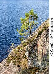 pine on the rocks