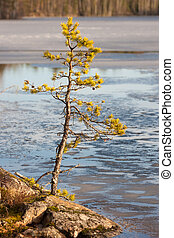 pine on the shore