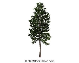 Pine or Pinus sylvestris - Pine or latin Pinus sylvestris...