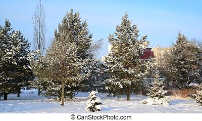 pine park in city in winter. Moscow
