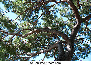 pine - branches of a pine in Genoa