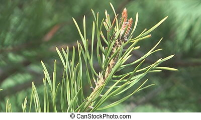 Pine. - Pine twig close-up.