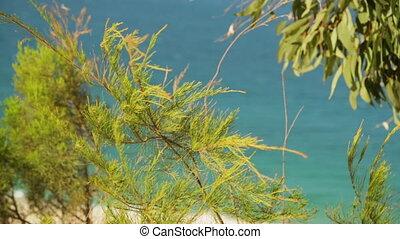 Pine Shrub Blowing In Wind, Qld Island, Australia - extreme...