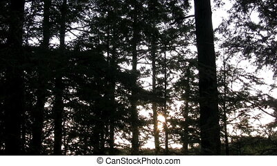 pine silhouette - footage of silhouetted pines swaying in...
