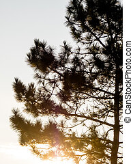 silhouette pine tree at sunset