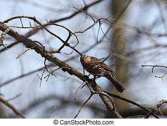 Pine Siskin bird