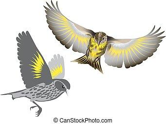 Pine siskin bird - Pine siskin (Spinus pinus) bird on the...