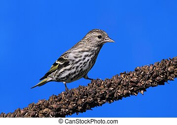 Pine Siskin (Carduelis pinus) on a perch