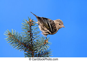 Pine Siskin (Carduelis pinus) on a perch with a blue sky...