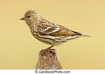Pine Siskin (Carduelis pinus) perched on a fence with a tan background