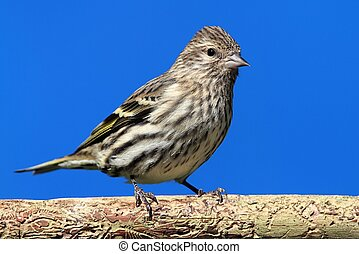Pine Siskin (Carduelis pinus) perched with a blue background