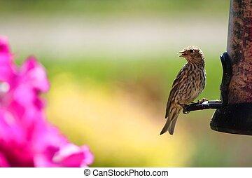 Pine Siskin (Finch)