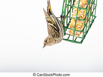 Pine Siskin finches (Carduelis pinus) - in spring competing for space and food at a feeder.