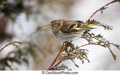 Pine siskin in winter.