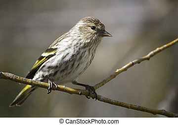 Pine Siskin on a Branch - Pine Siskin bird perched on a...