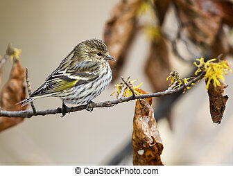 Pine Siskin perched on a Witch Hazel branch in late autumn