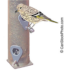 Pine Siskin - Spinus pinus on sunflower seed feeder