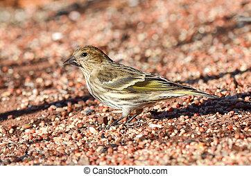 Pine Siskin (Spinus pinus) - Pine Siskin eating a sunflower...