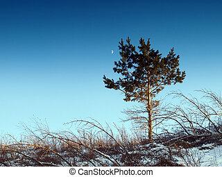 Pine, sky and moon. Winter.