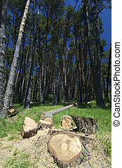 pine timber