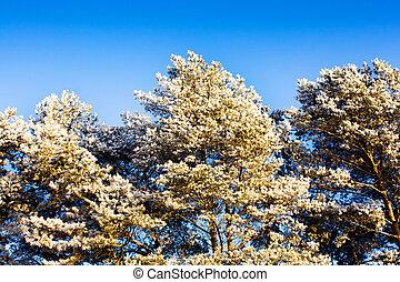 Pine top in hoarfrost