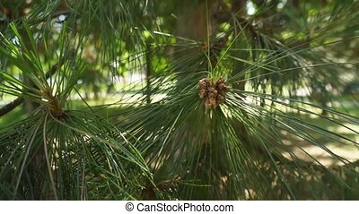 Pine Tree 001 - Pine tree branch close up.