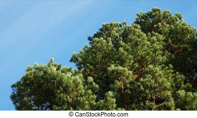 Pine tree against the sky