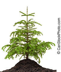 Pine tree and ground