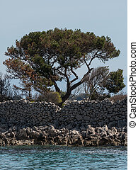 Pine tree and stone walls near the city of Cres - Pine tree...