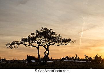 Pine tree at dusk