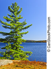 Pine tree at lake shore