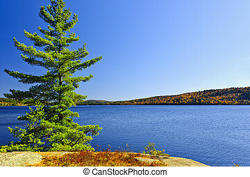 Pine tree at lake shore - Tree and fall forest on rocky ...