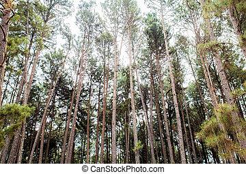 Pine tree at sky.