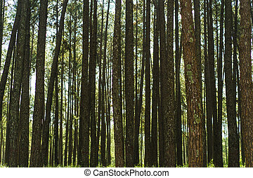 Pine tree background, Green forest.