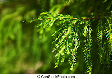 pine tree background - green pine branches with needles as...
