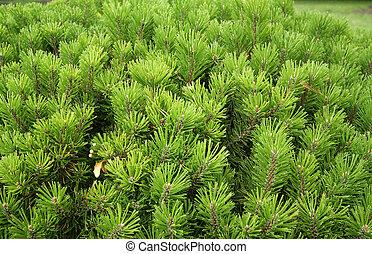 Pine tree background