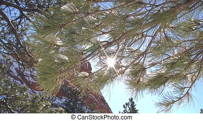 Pine tree bough - Sunlight through a pine tree bough in Red...