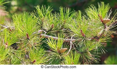 Pine tree branch close up.