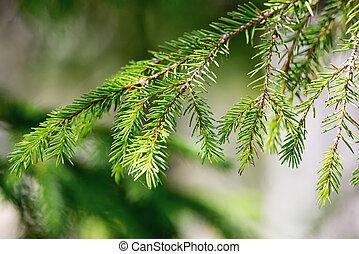 Pine tree branch closeup