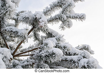 pine tree branch covered with hoarfrost
